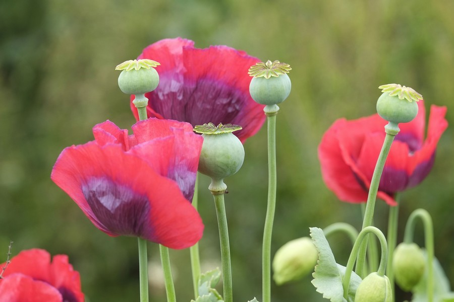 Poppies at Woodhill